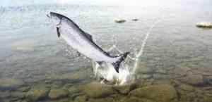 ماهی سردابی گرمابی