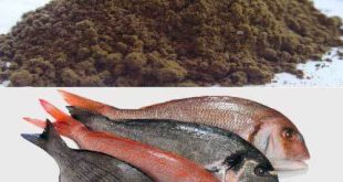 بهترین پودر ماهی شمال