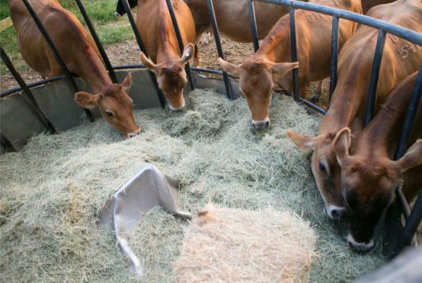 تولید کننده کنسانتره گاو