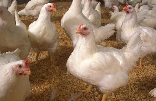 کنسانتره 5/2 مرغ گوشتی